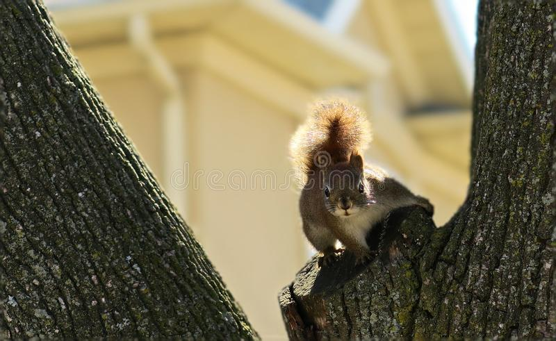 Neugieriges Streifenhörnchen stockbilder