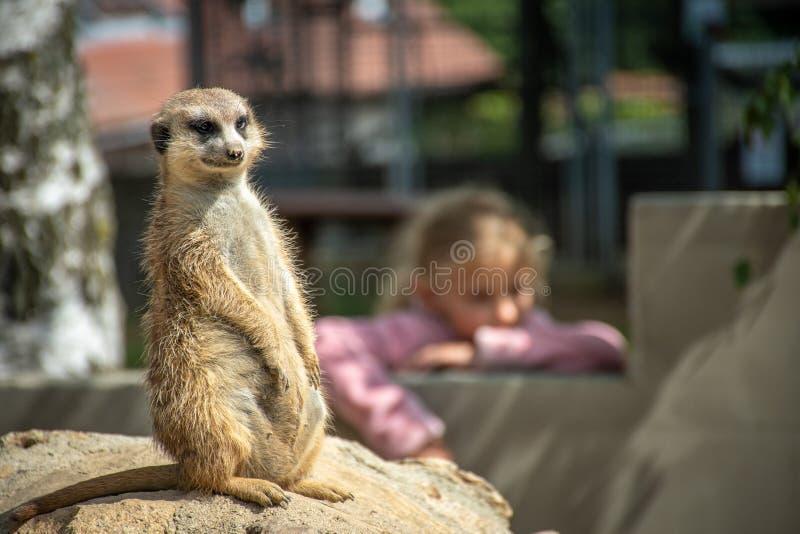 Neugieriges und alarmiertes meerkat sitzt auf einem Stein lizenzfreies stockbild