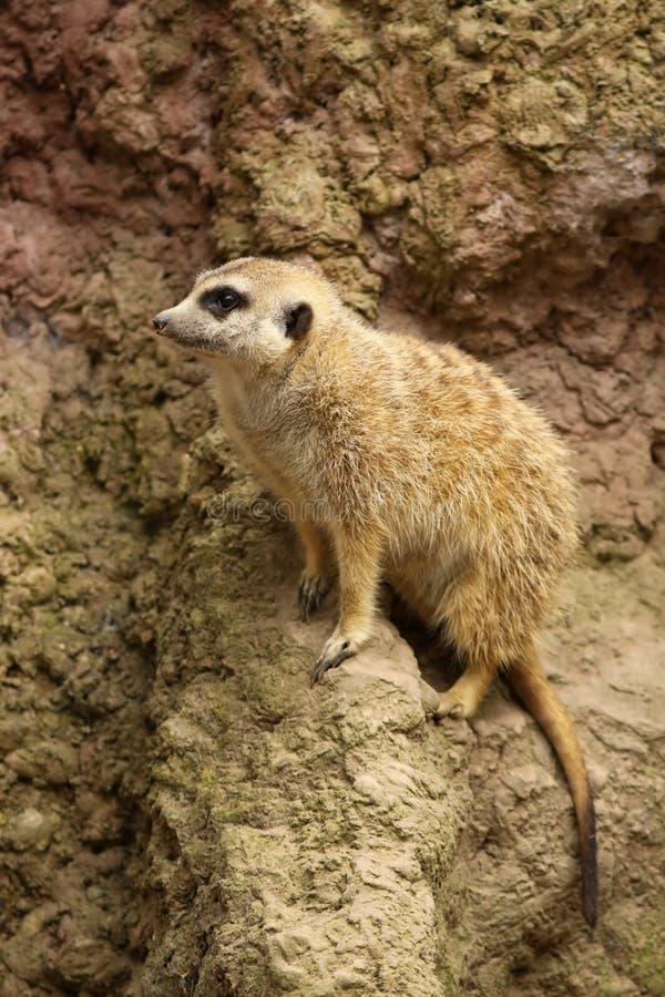 Neugieriges wenig meerkat stockbild