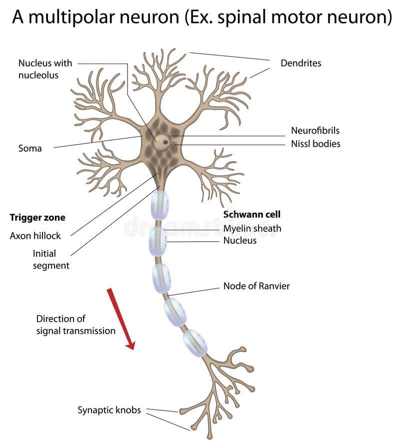 Neurônio de motor, detalhado e exato, etiquetado vers. ilustração royalty free