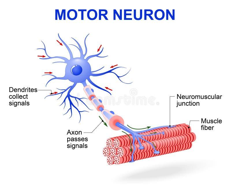 Neurônio de motor Diagrama do vetor ilustração stock