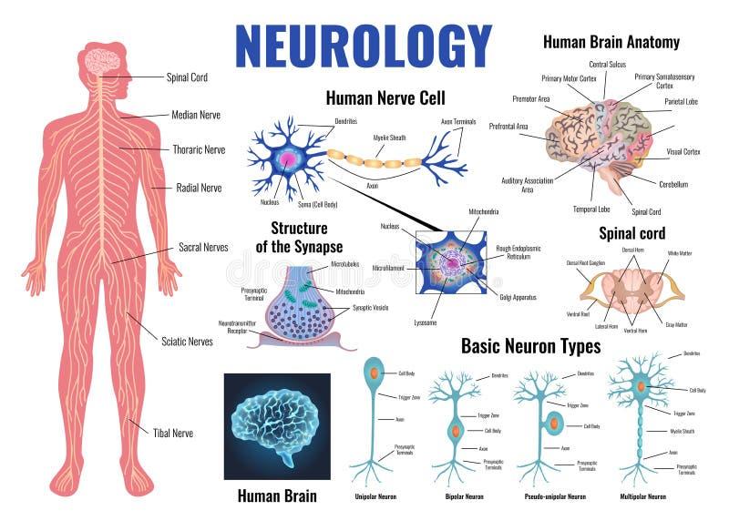 Neurología y Brain Set humano libre illustration