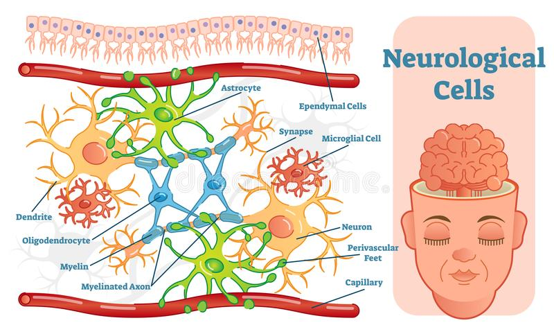 Neurological cells vector illustration diagram. Educational medical information. royalty free illustration