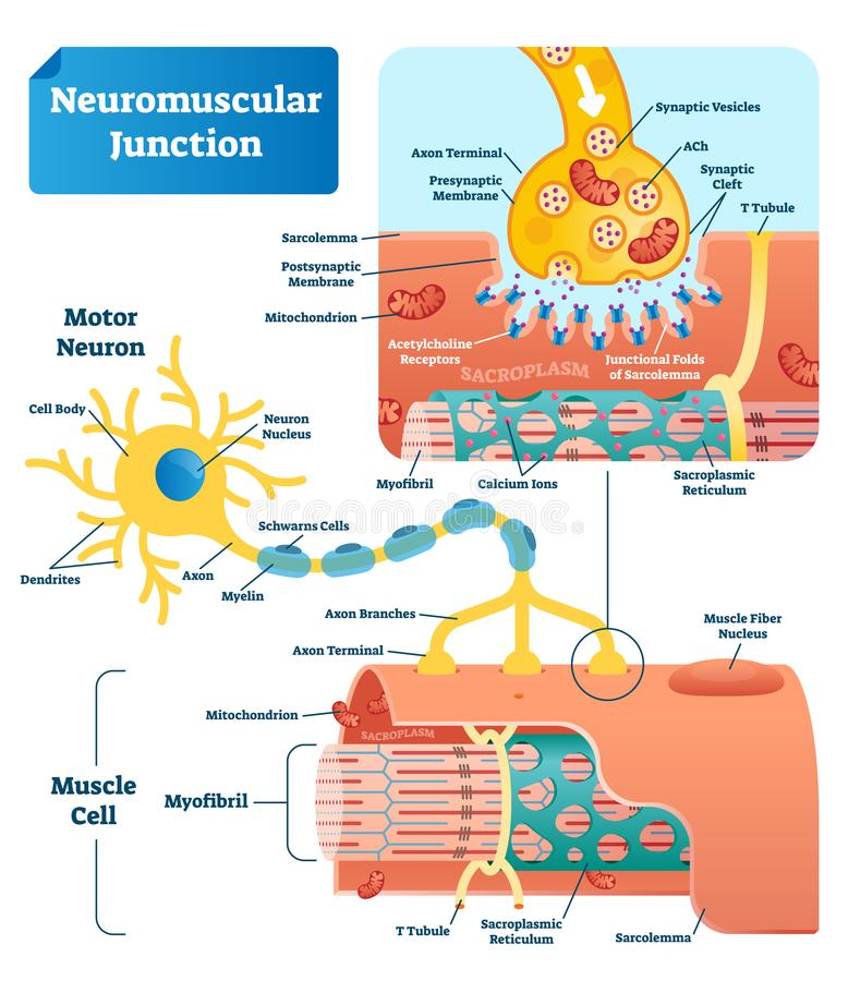 Neuromuscular junction vector illustration scheme. Labeled cell infographic royalty free illustration