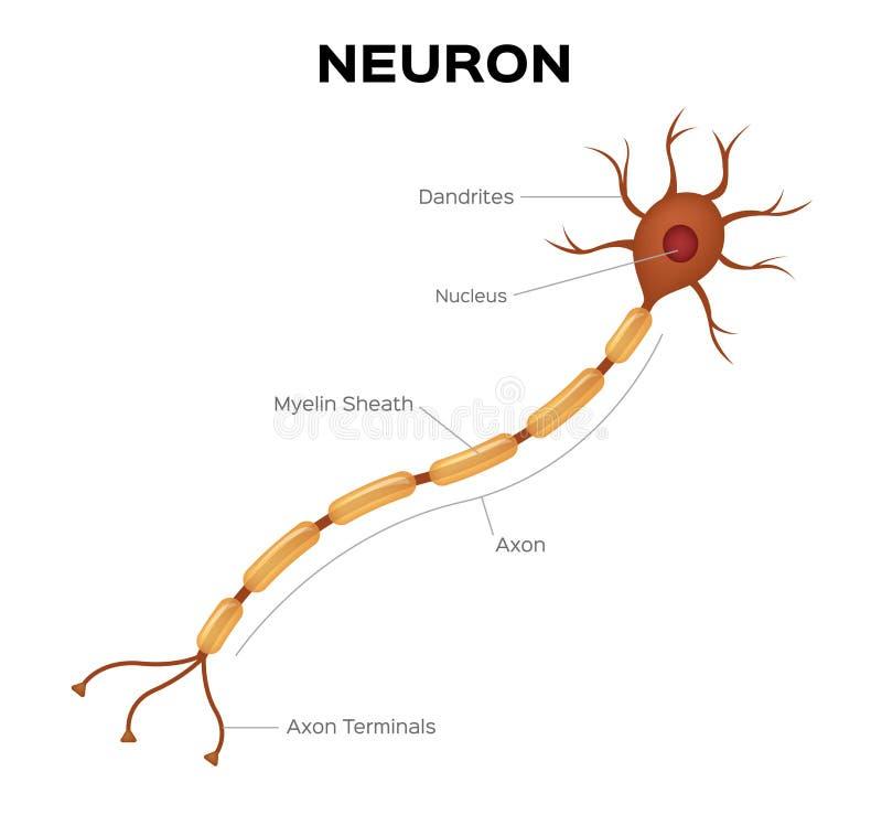 Neuron anatomia Infographic royalty ilustracja