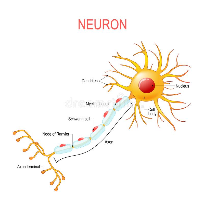 Neuron anatomy. Structure of a nerve cell vector illustration