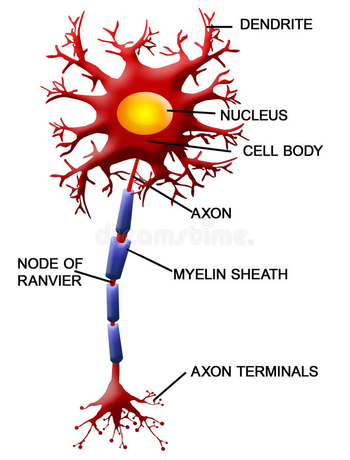 Neuron cell vector illustration