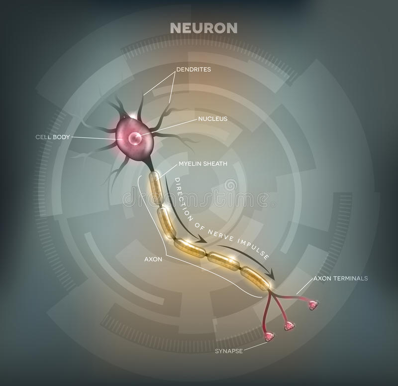 Neuron. Labeled diagram of the Neuron, nerve cell that is the main part of the nervous system. Abstract grey mesh background vector illustration