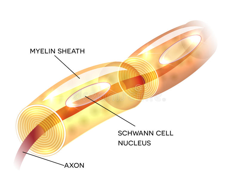 Neuron myelin sheath stock illustration