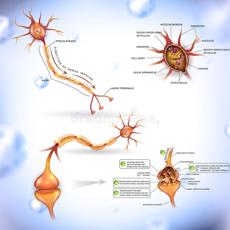 Neuron. Nerve cell, close up illustrations bundle. Synapse detailed anatomy,  passes signal to another . Cross section, nucleus and other organelles of the royalty free illustration