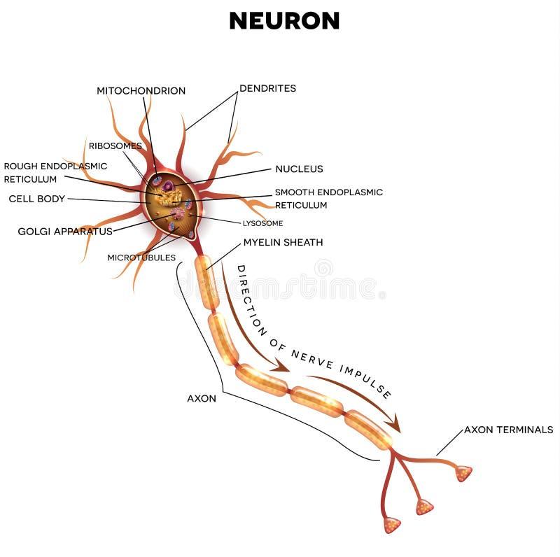 Neuron, nerw komórki anatomia ilustracja wektor