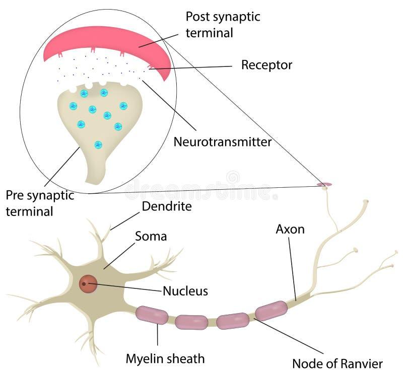Neurona Y Diagrama Etiquetado Sinapsis Ilustración del Vector ...