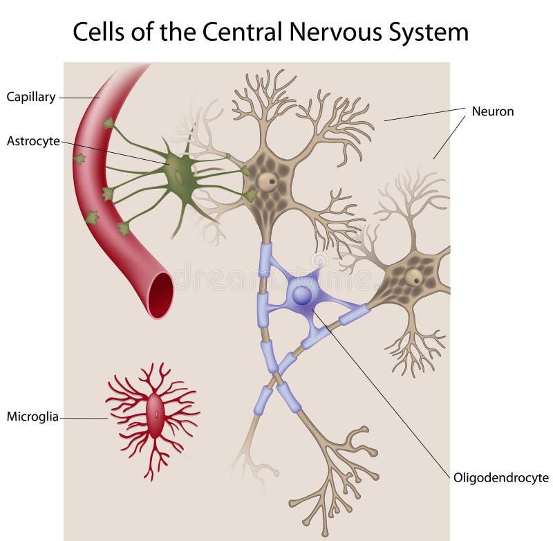 Neuronas y células glial del CNS ilustración del vector
