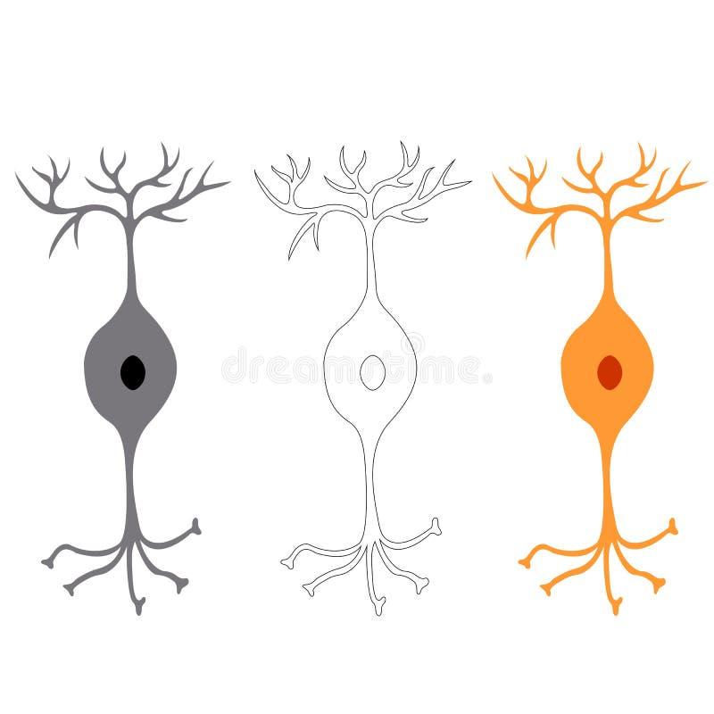 Neurone bipolare, neuroni delle cellule nervose illustrazione vettoriale