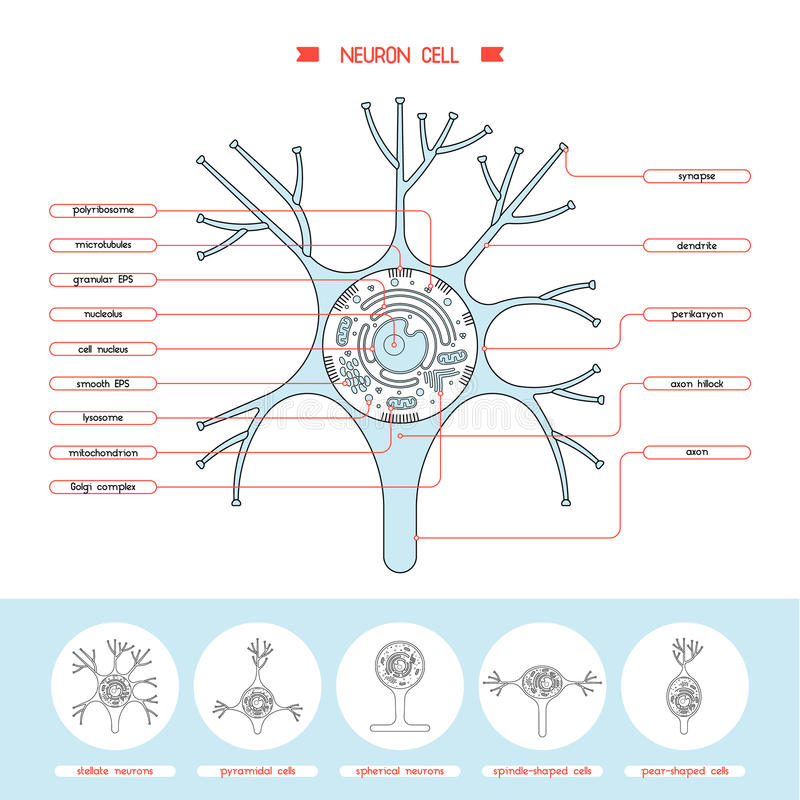 Neurone cell structure vector illustration