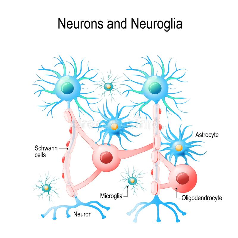 Neurones et cellules neuroglial illustration libre de droits