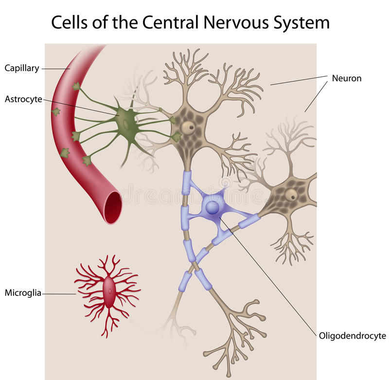 Neurons And Glial Cells Of The CNS Stock Vector - Illustration of ...