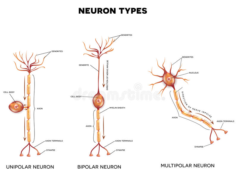 Neurontyper vektor illustrationer