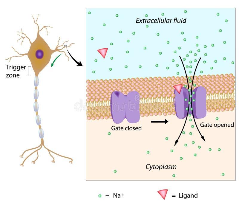 Neuronu i miejscowego potencjał ilustracja wektor