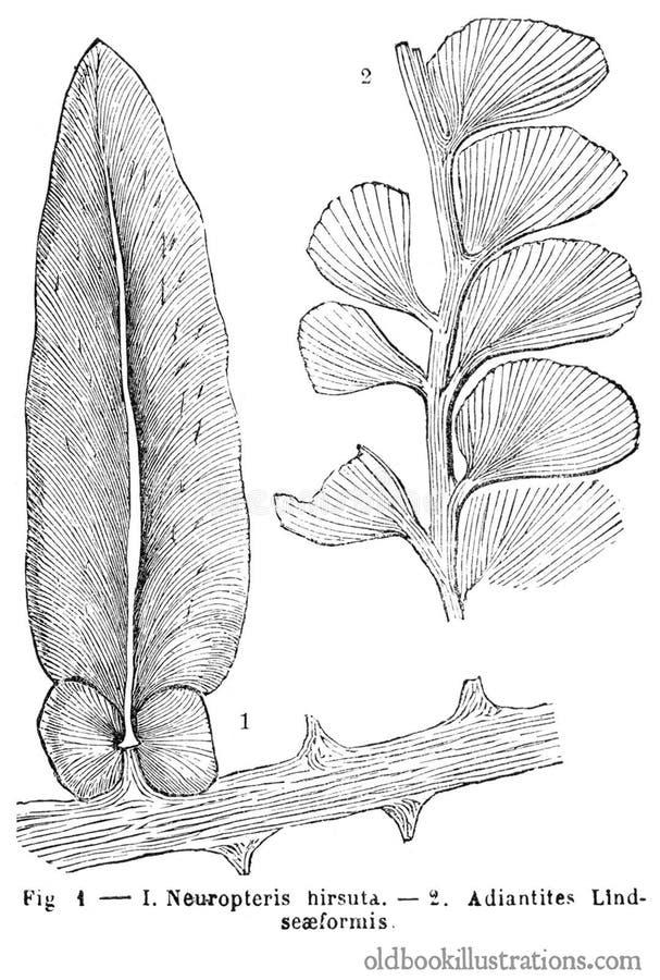 Neuropteris hirsuta & Adiantites lindseæformis stock images