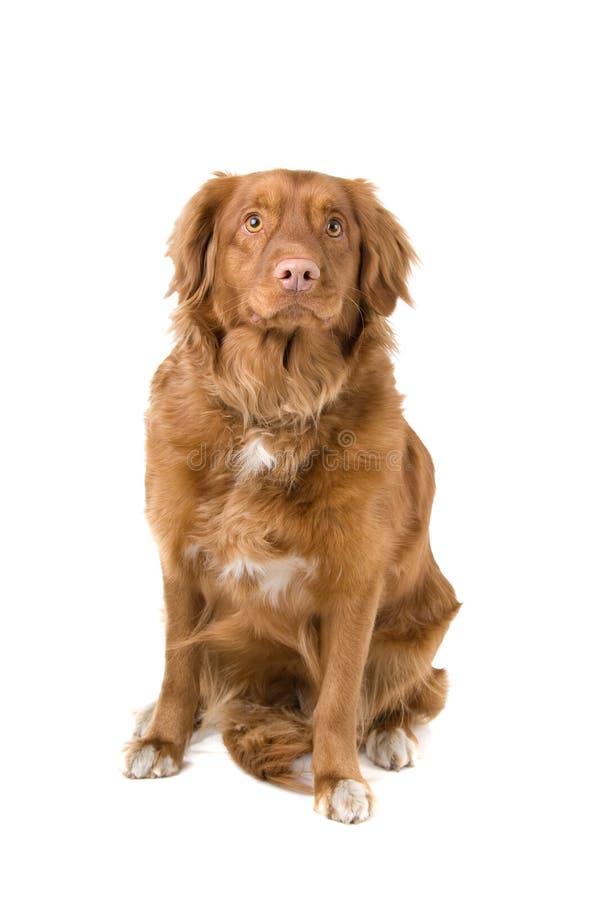 Neuschottland-Ente-Läutender Apportierhund stockbilder