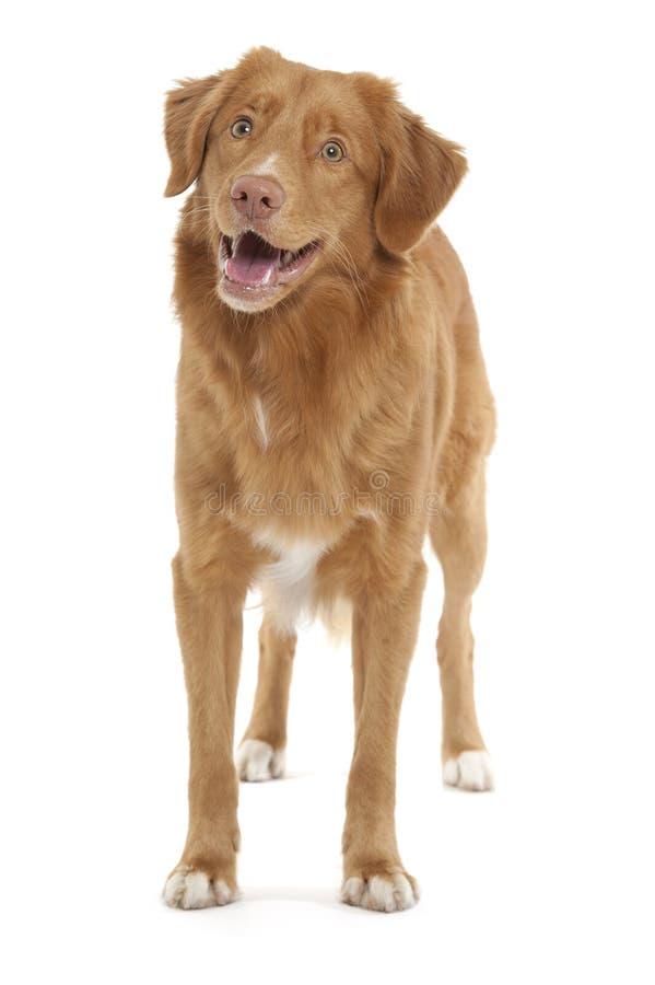 Neuschottland-Ente-läutender Apportierhund stockbild