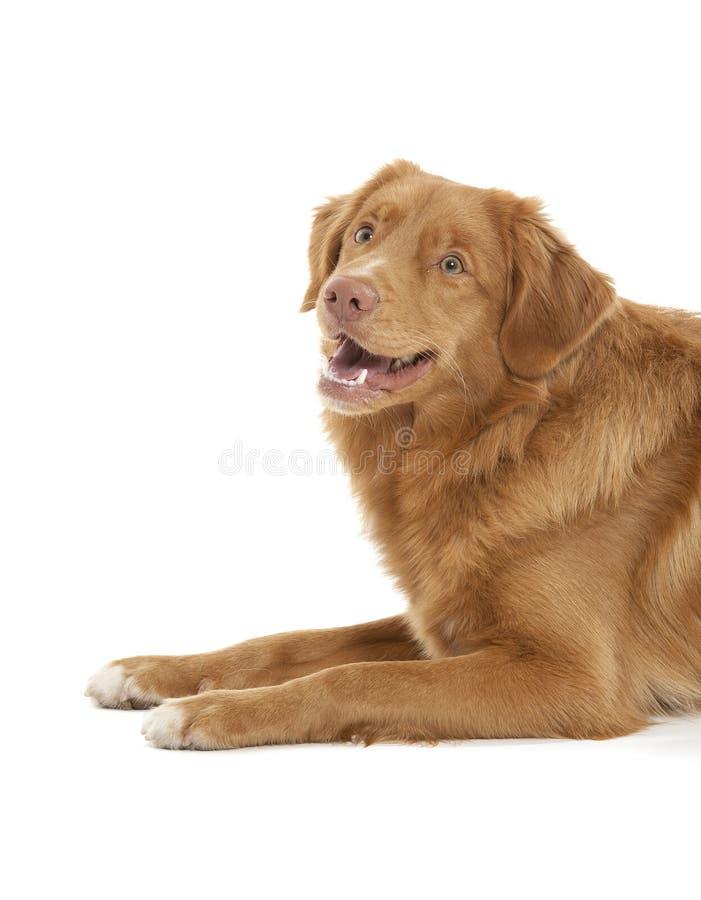 Neuschottland-Ente-läutender Apportierhund lizenzfreies stockfoto
