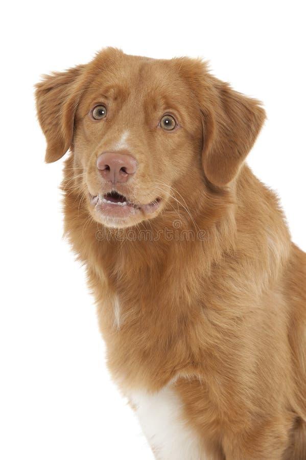 Neuschottland-Ente-läutender Apportierhund lizenzfreies stockbild