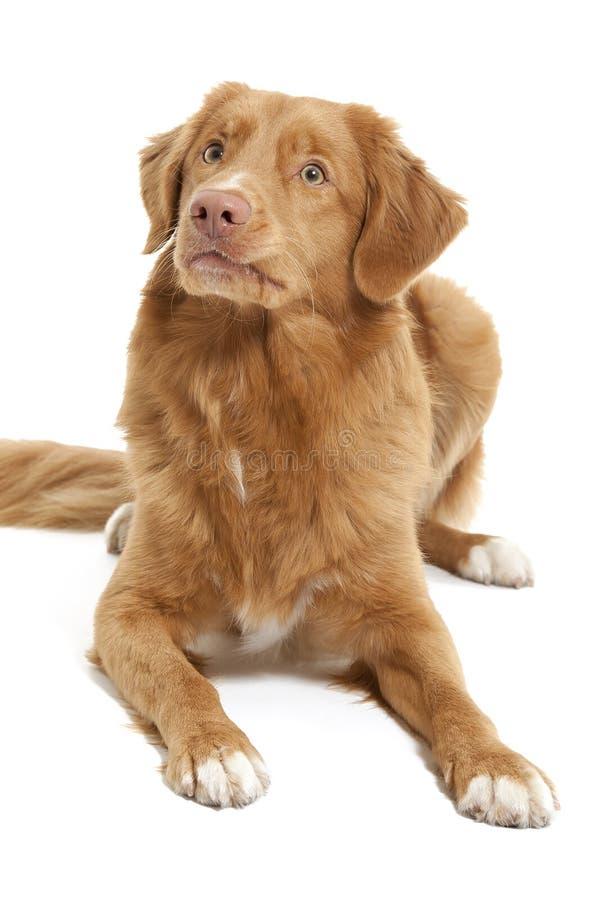 Neuschottland-Ente-läutender Apportierhund lizenzfreie stockfotografie