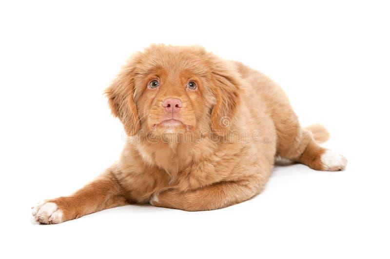 Neuschottland-Ente-läutender Apportierhund stockfoto