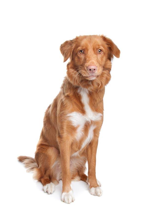 Neuschottland-Ente-läutender Apportierhund lizenzfreie stockbilder