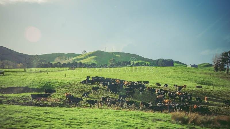 Neuseeland: Bauernhoflandschaft mit vielen Kühen lizenzfreies stockbild