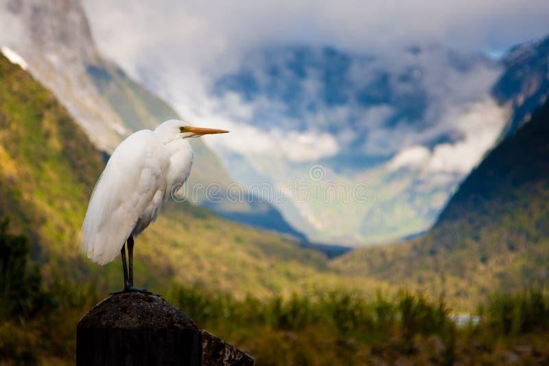 Neuseeland-Kuhreiher stockfotografie