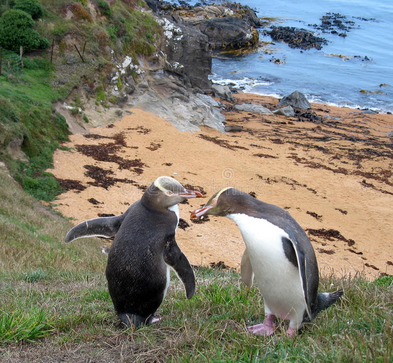 Neuseeland-Pinguine lizenzfreies stockbild