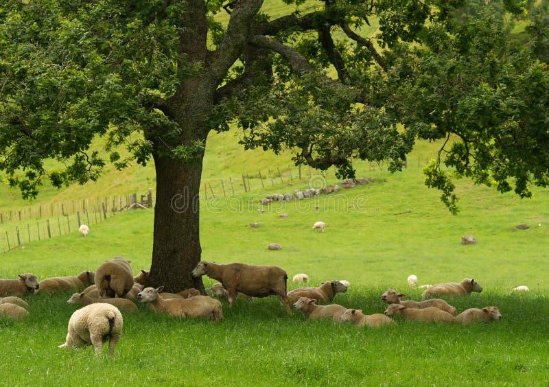Neuseeland-Schafe lizenzfreie stockfotos
