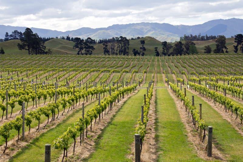 Neuseeland, Weinberg an marlborough Grafschaft lizenzfreies stockfoto