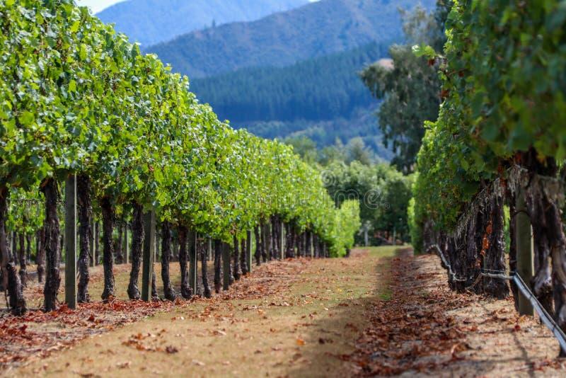 Neuseeland-Weinberg in Marlborough stockfotografie