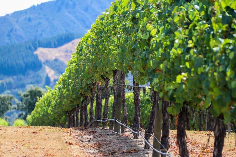 Neuseeland-Weinberg in Marlborough lizenzfreies stockfoto