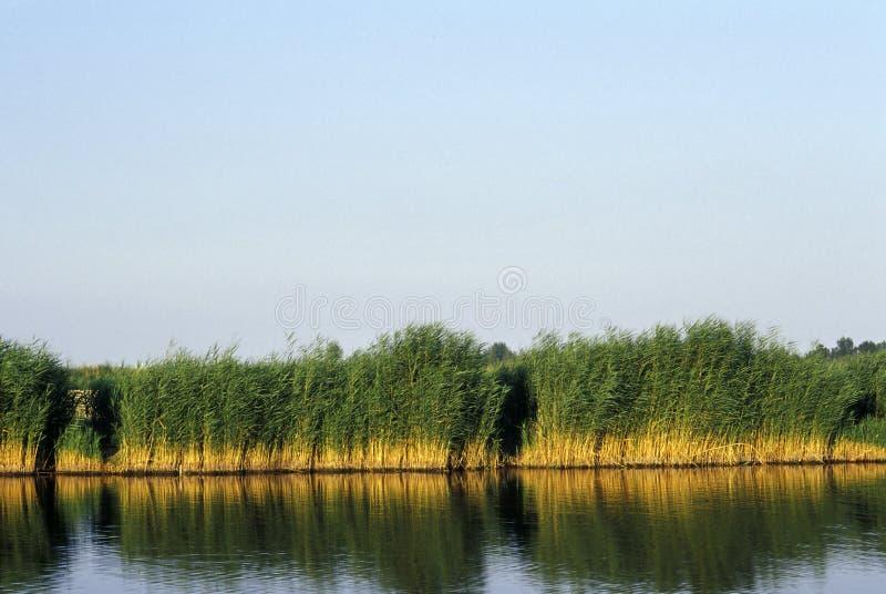 neusiedl jeziorne płochy fotografia stock
