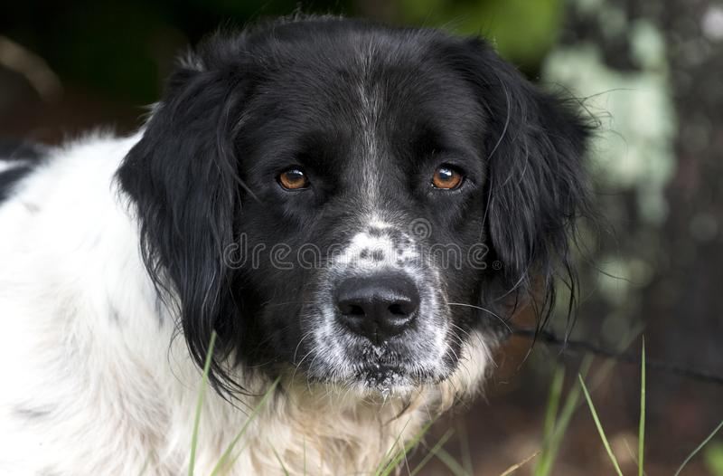 Setter Spaniel mixed breed dog outdoors on leash stock images