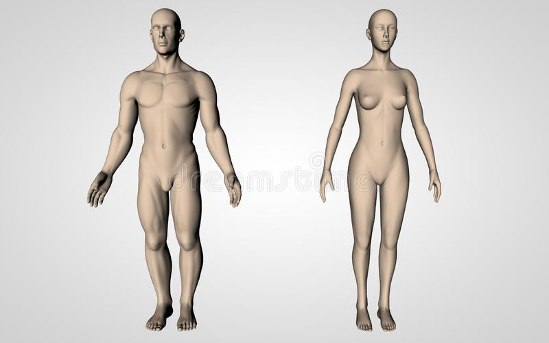 Neutral Human Bodies. Man and woman bodies isolated, perfect for school, anatomy teaching. Body parts stock illustration