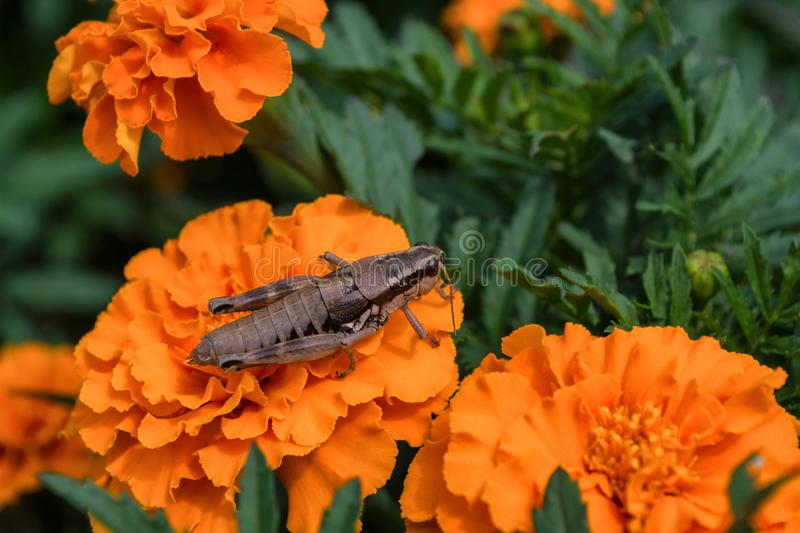Neutralises grasshopper sitting on a orange flower of the Marigold. Young grey grasshopper and flower closeup. stock images