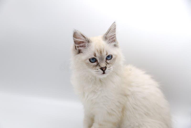 Neva Masquerade, gatito siberiano imagen de archivo libre de regalías
