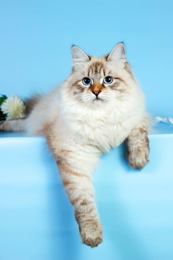 Neva masquerade kitten on blue background royalty free stock photography