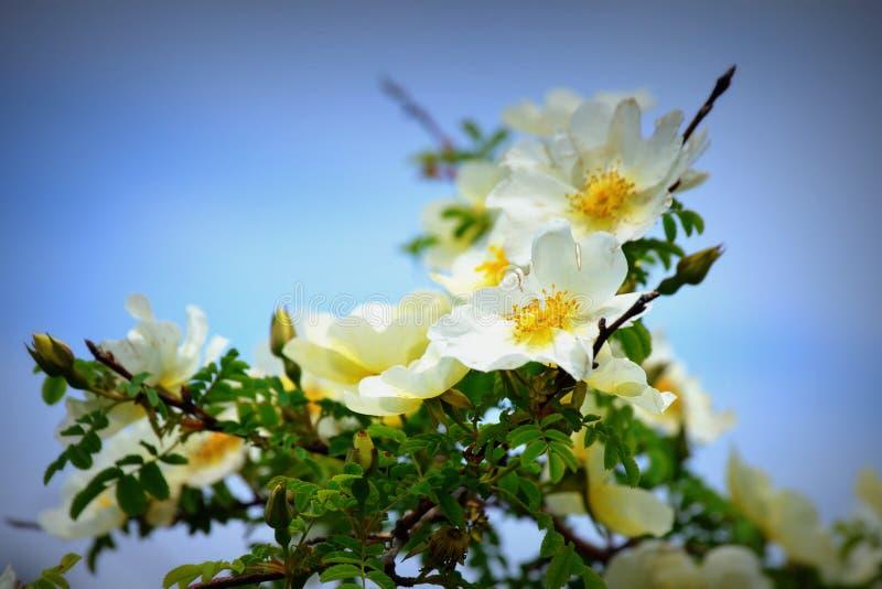 Nevada Rose White med guling fotografering för bildbyråer