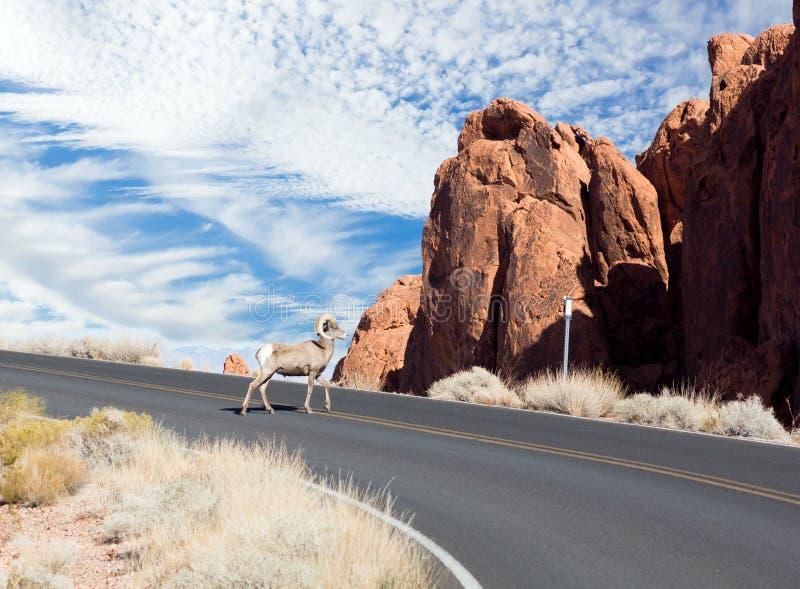 Nevada State Park: Valle di fuoco La quaglia del Gambel (Callipep fotografia stock libera da diritti