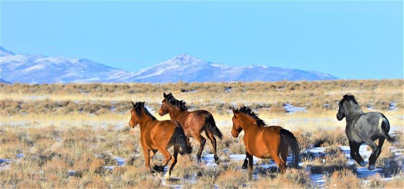 Nevada Wild Horses lizenzfreies stockbild