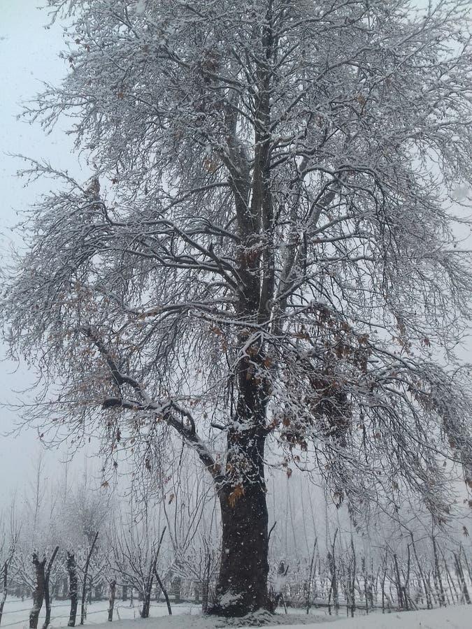 Nevadas del árbol de Chinar fotografía de archivo