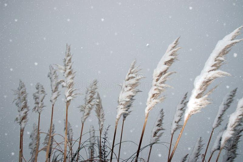 Nevado cubrió las cañas foto de archivo