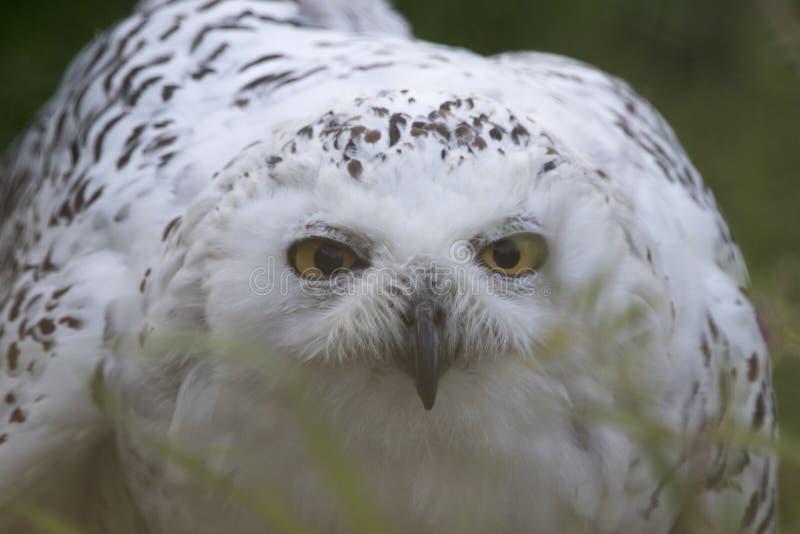Nevado Owl Portrait imágenes de archivo libres de regalías